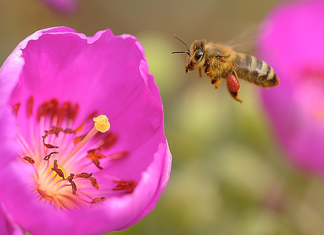 beekeeping research papers According to some studies, there is hope for wild honeybees too eric erickson,  director of the carl hayden bee research center in tucson,.